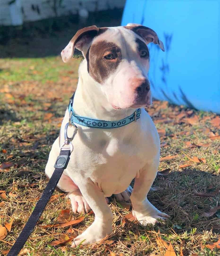White Basset Hound Pitbull mix on leash