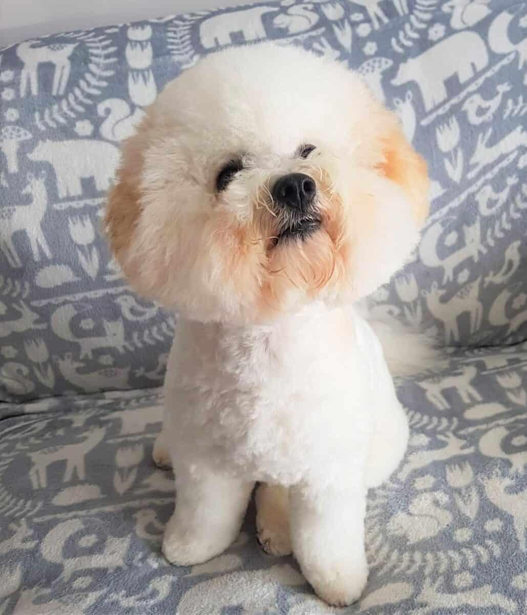 White and apricot Bichon Frise puppy