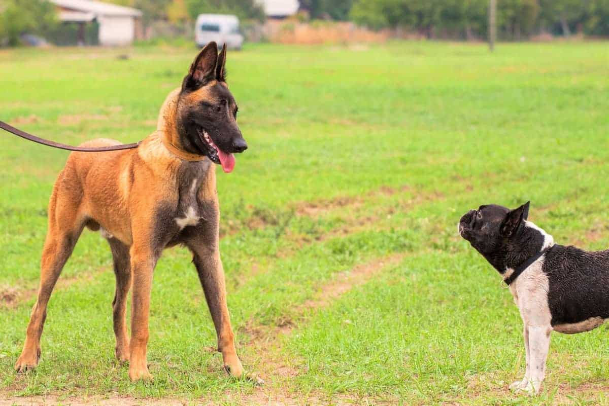 Young Male Belgian Malinois puppy and French Bulldog