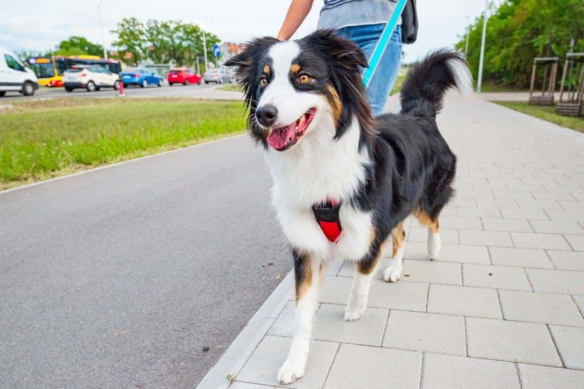 Adopted Australian Shepherd walking outdoor on leash