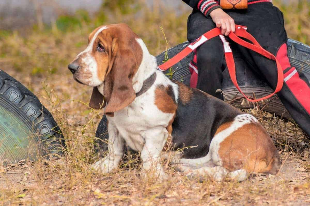 Adopted Basset Hound outdoor walking on leash