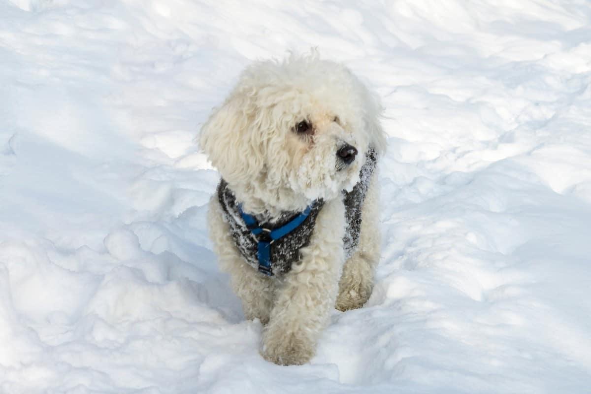 Adopted Bichon Frise walking on snow