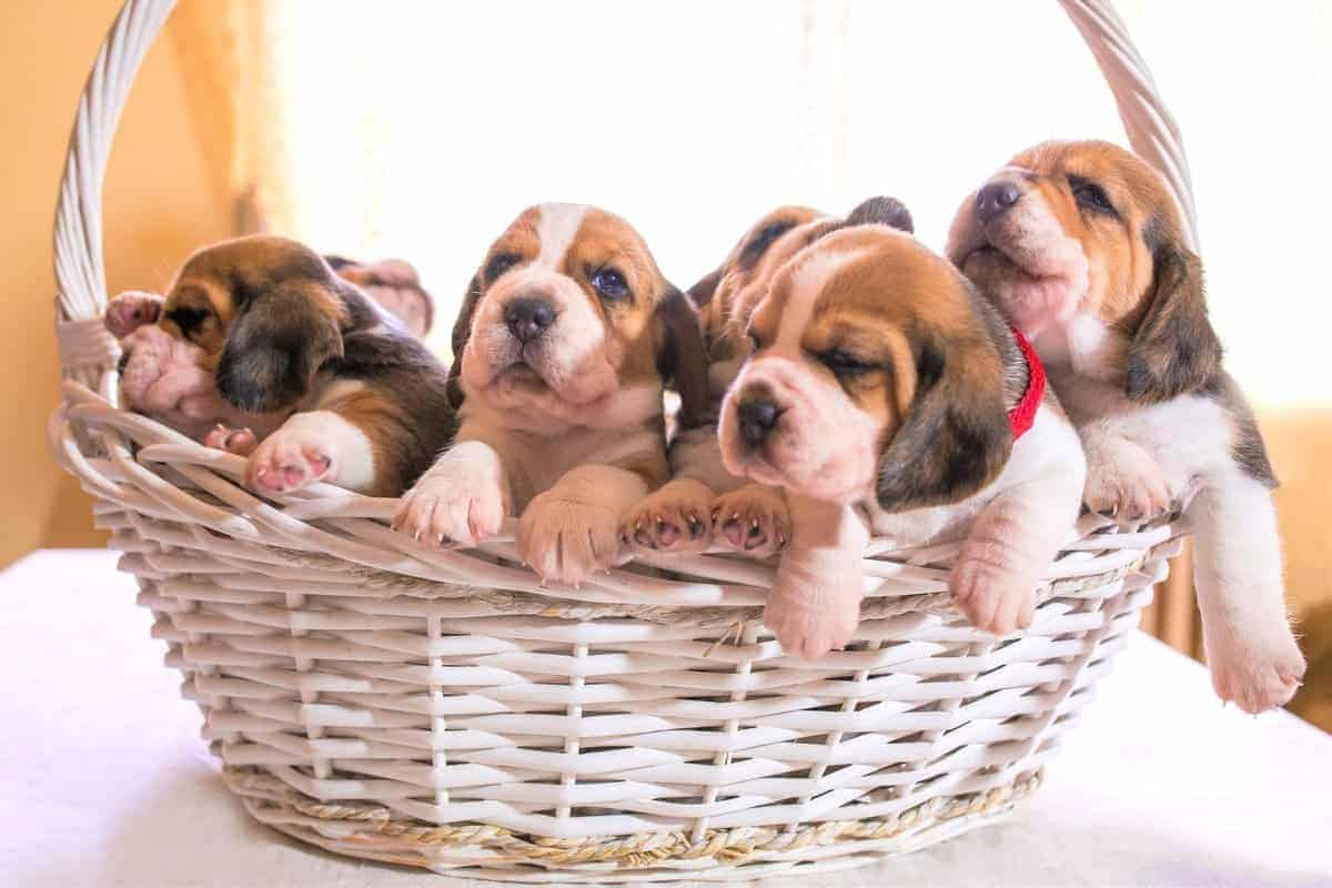 Beagle puppies for sale in a basket
