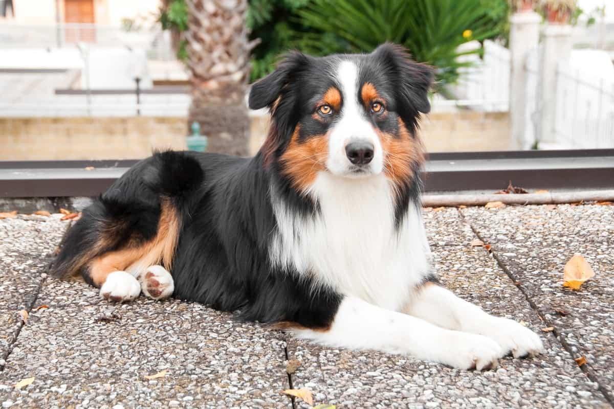 Best Australian Shepherd Rescue for Adoption