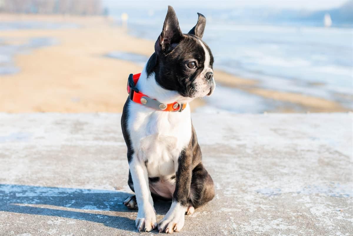 Best Boston Terrier Breeders to Find Boston Terrier Puppies for Sale