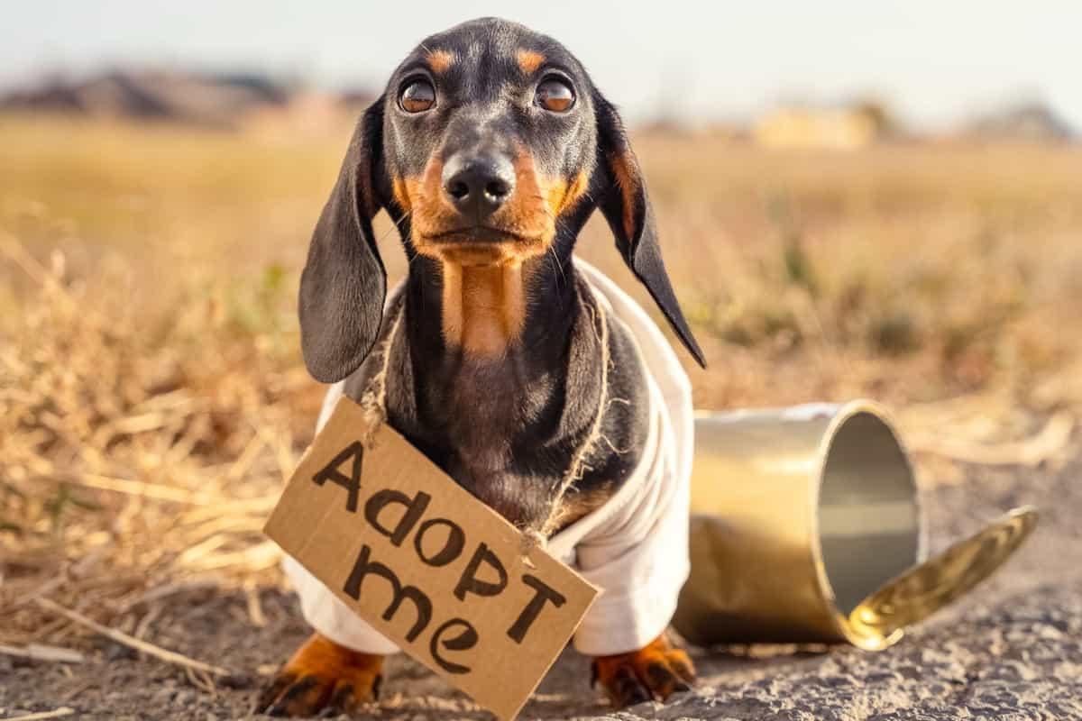 Best Dachshund Rescue for Adoption
