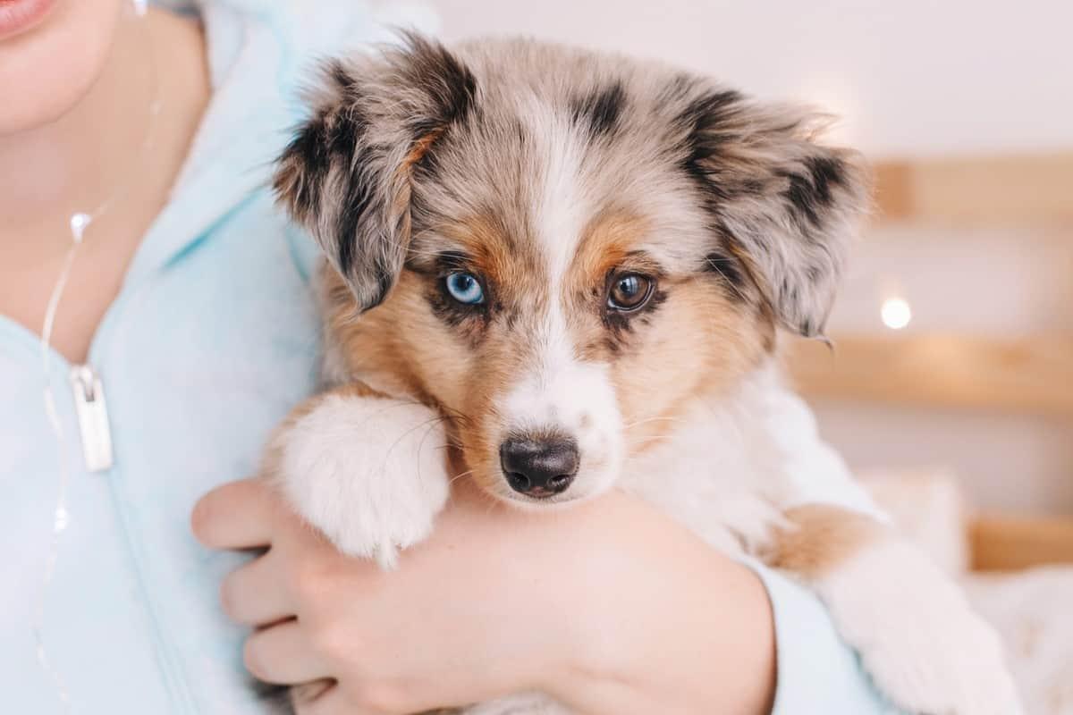 Closeup of cute rescue Miniature Australian Shepherd puppy