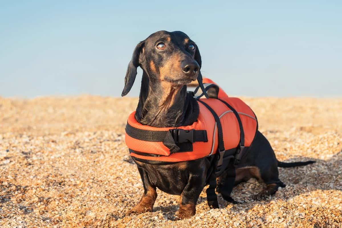 Dachshund rescue wearing orange life jacket