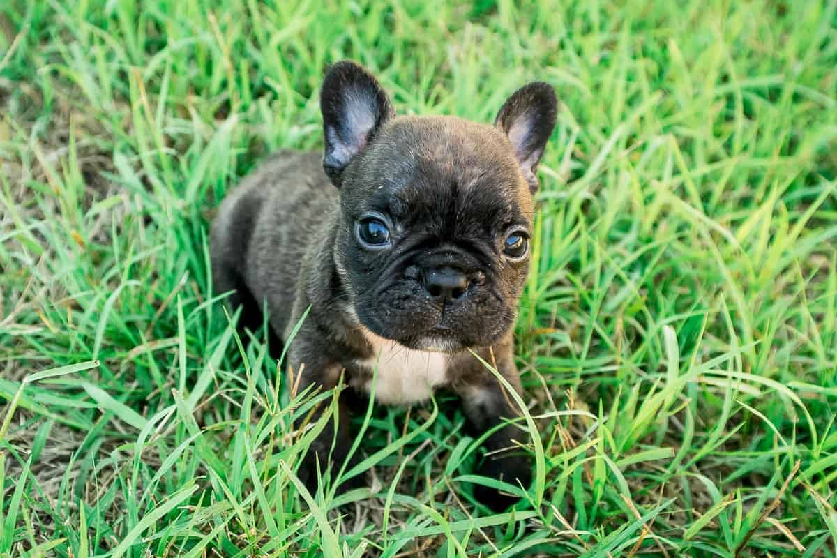 Teacup French Bulldog puppy with a lovely face in the grass
