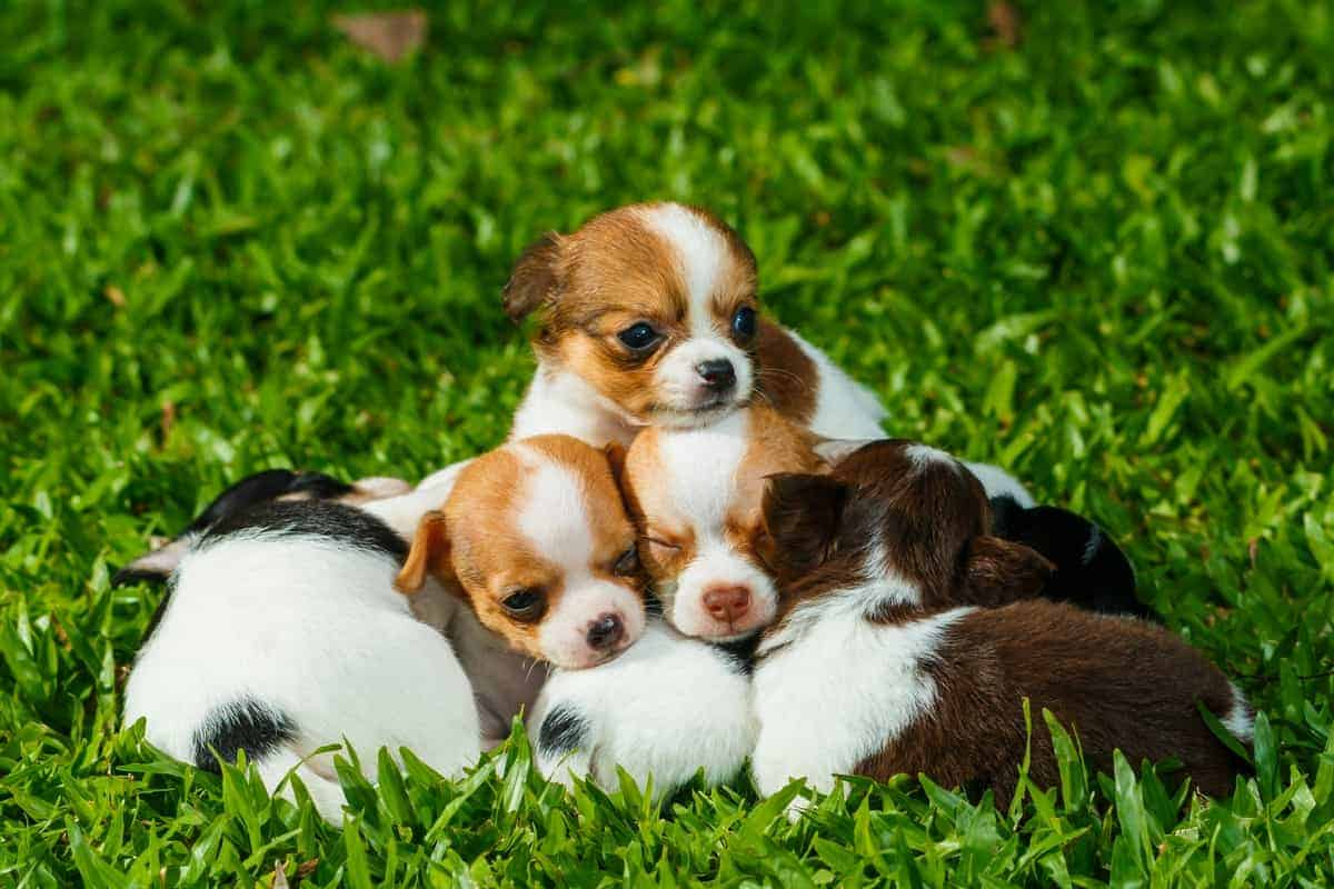 A group of newbown Chihuahua puppies for sale