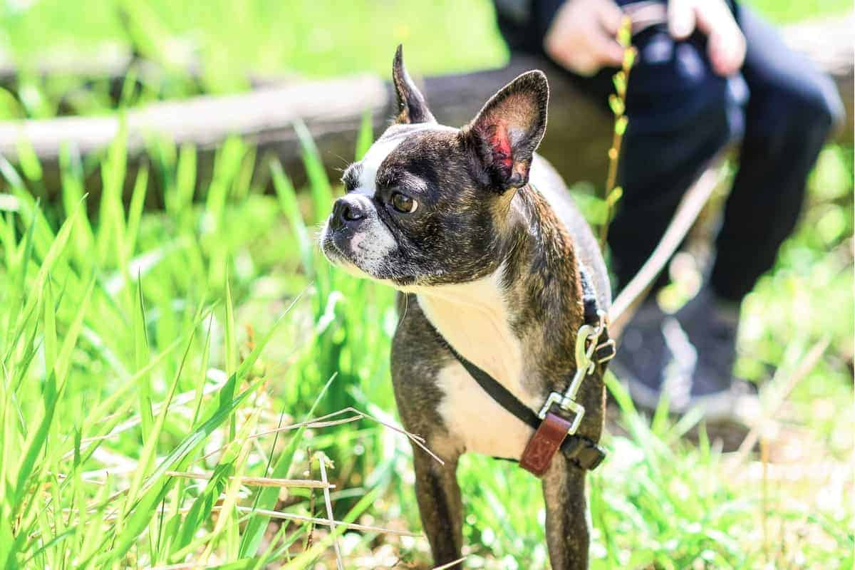 Adopted Boston Terrier walking outdoor with its owner