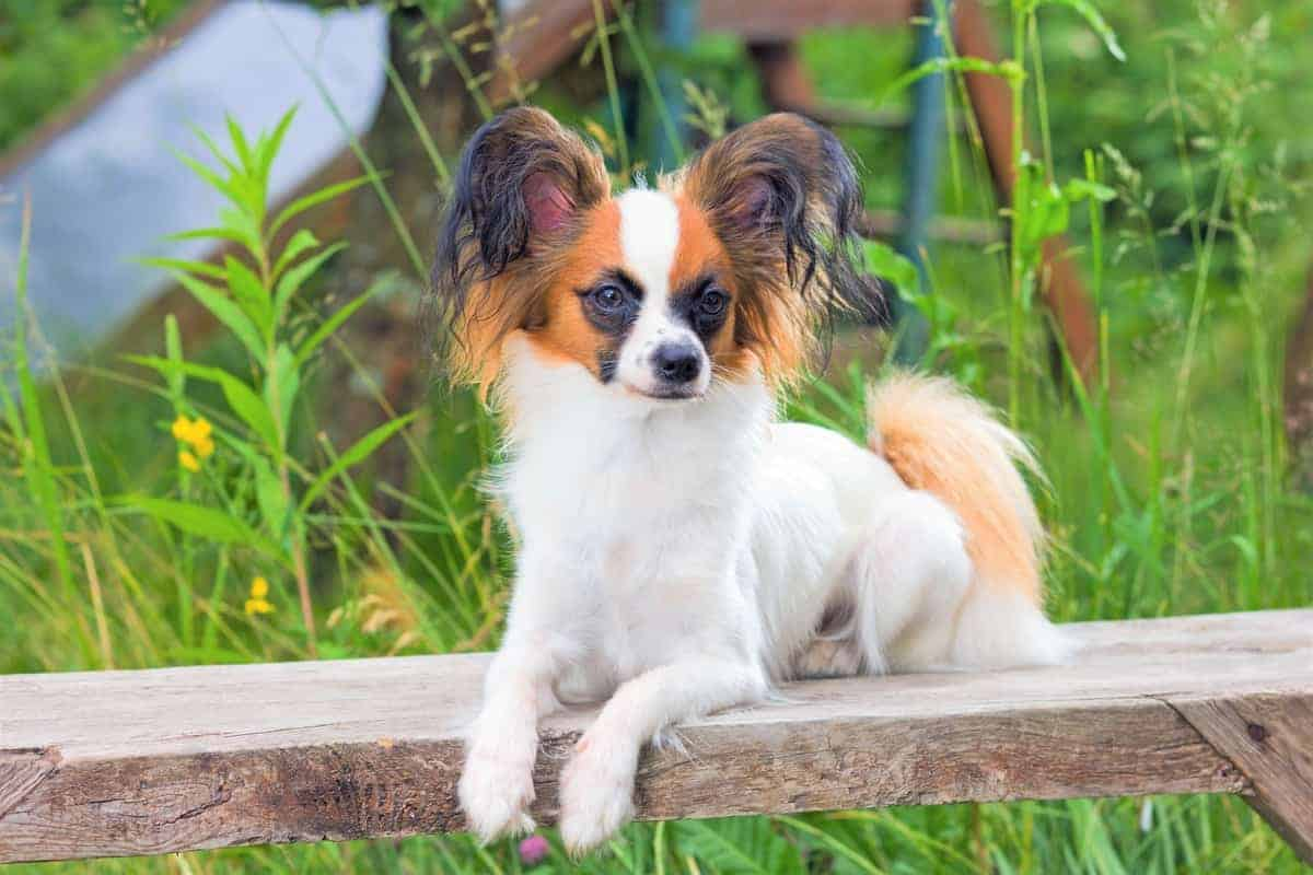 All Papillon Coat Colors and Markings