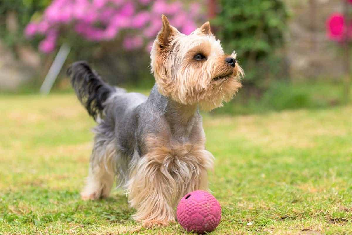 An adopted Yorkshire Terrier playing a pink ball