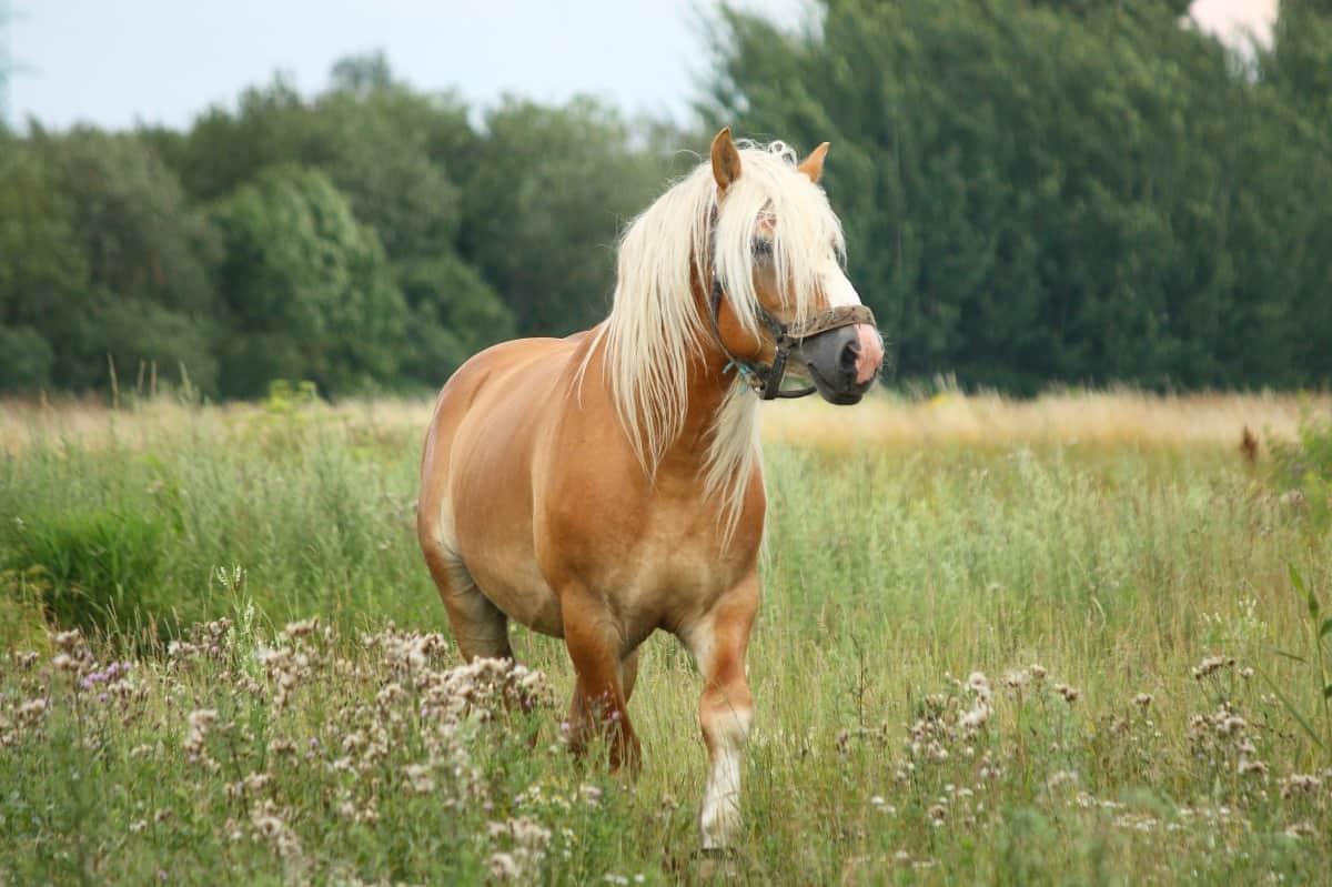 Beautiful palomino horse walking at the field