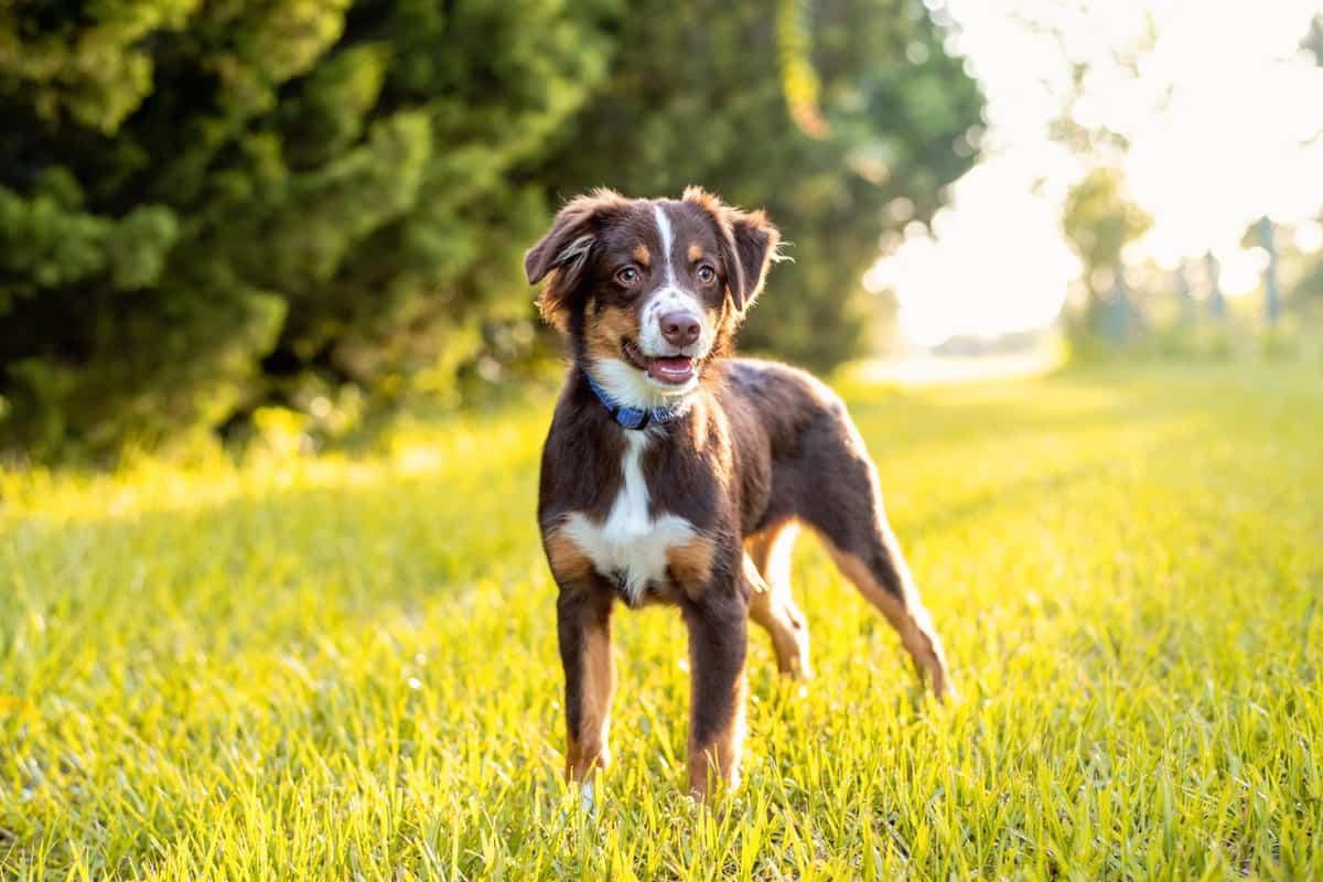 Best Australian Shepherd Breeders to Find Aussie Puppies for Sale