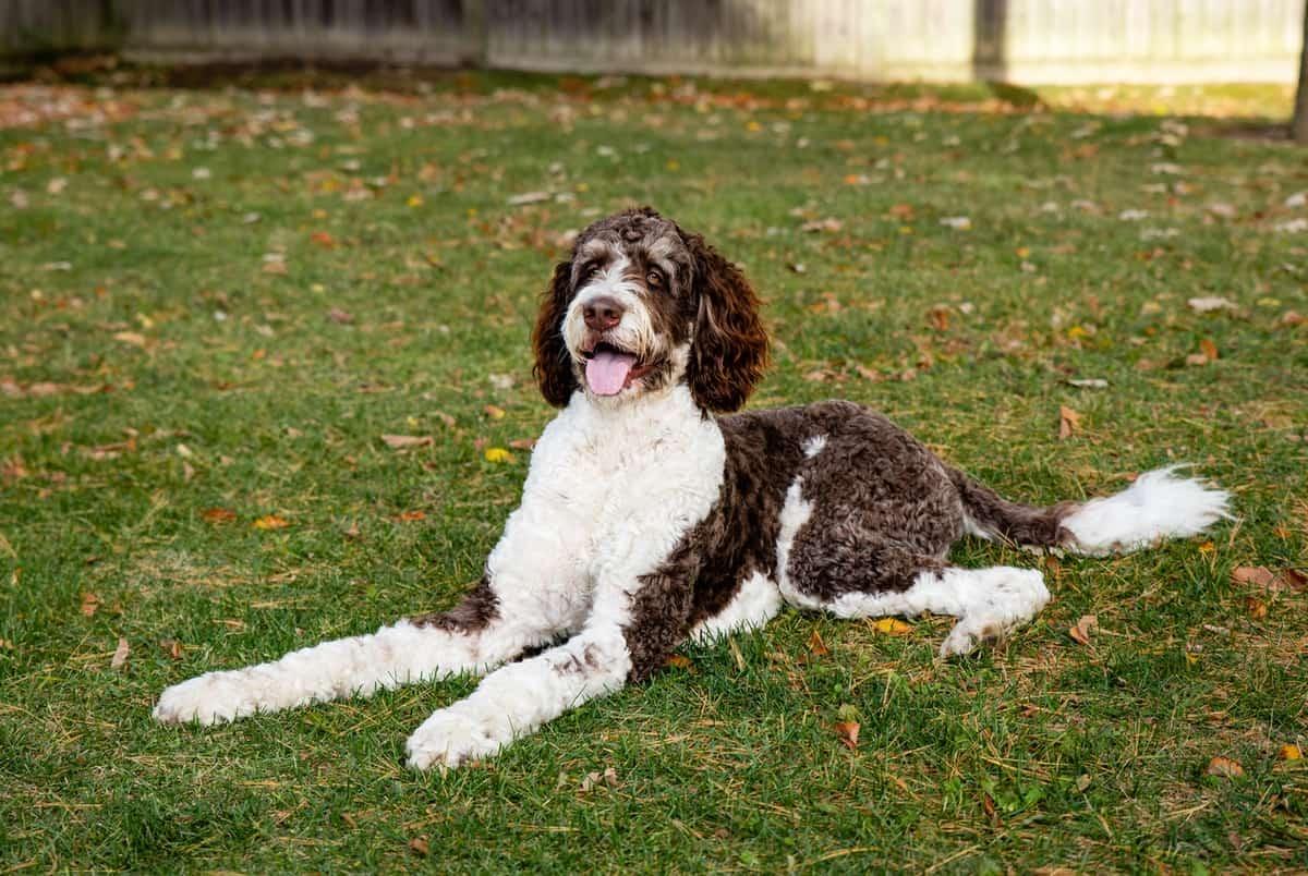 Best Bernedoodle Breeders to Find Bernedoodle Puppies for Sale