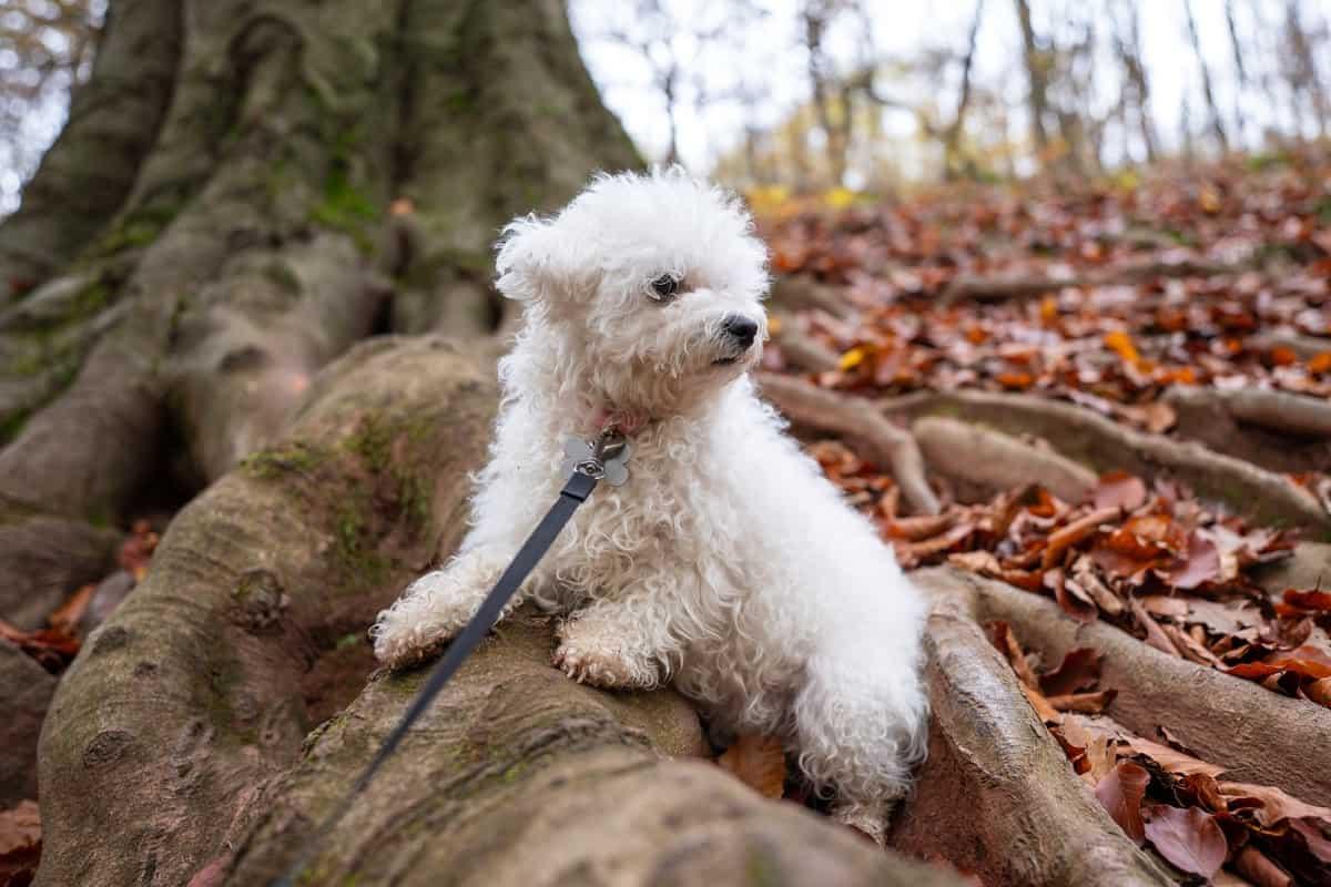 Best Bichon Frise Breeders to Find Bichon Frise Puppies for Sale