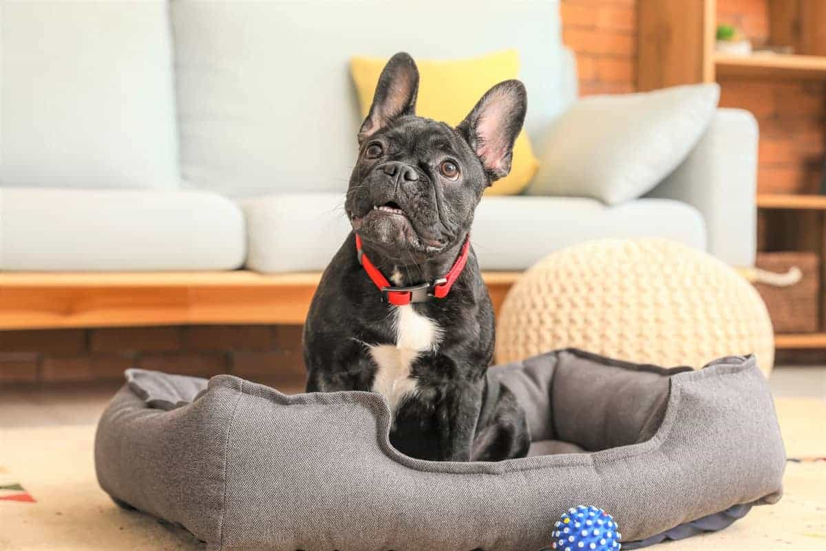 Best Boston Terrier Rescue for Adoption