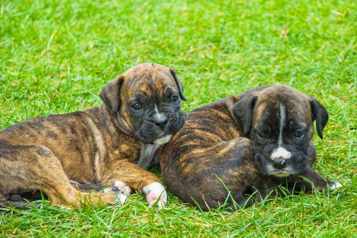 Best Boxer Breeders to Find Boxer Puppies for Sale