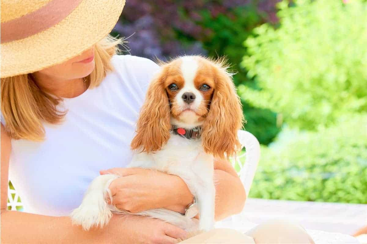 Best Cavalier King Charles Spaniel Rescue for Adoption