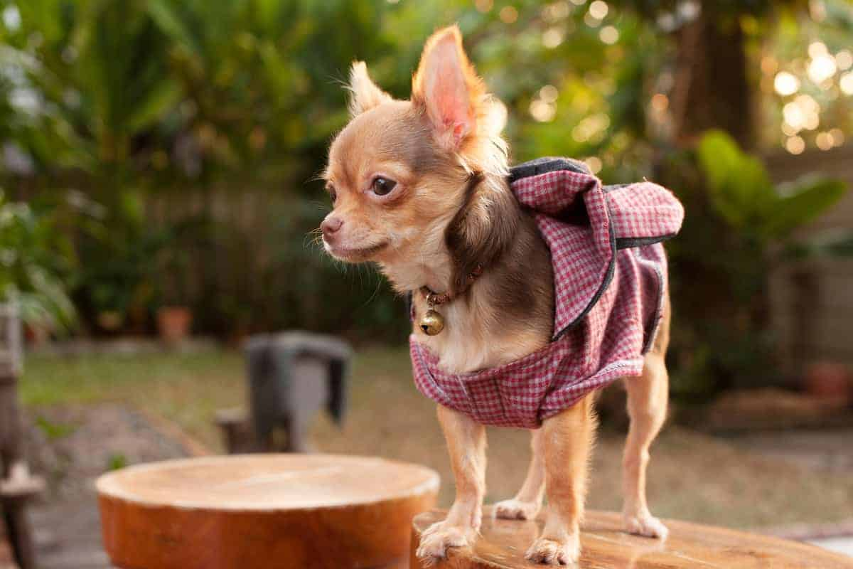 Best Chihuahua Breeders to Find Chihuahua Puppies for Sale