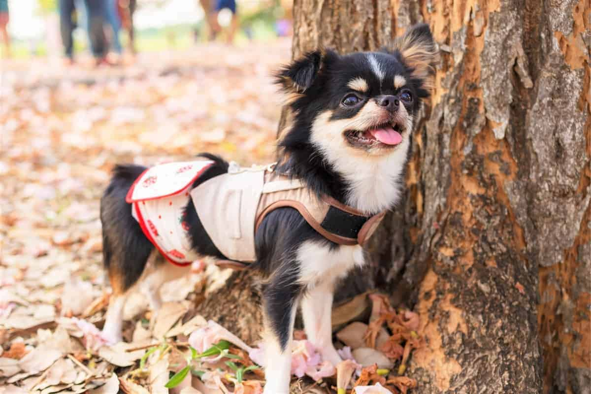 Best Chihuahua Rescues for Adoption