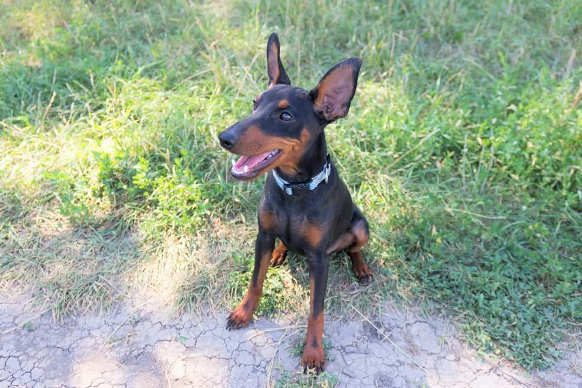 Best Doberman Breeders to Find Doberman Puppies for Sale