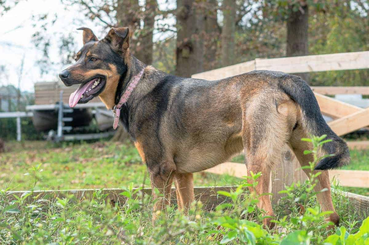 Best German Shepherd Rescue for Adoption