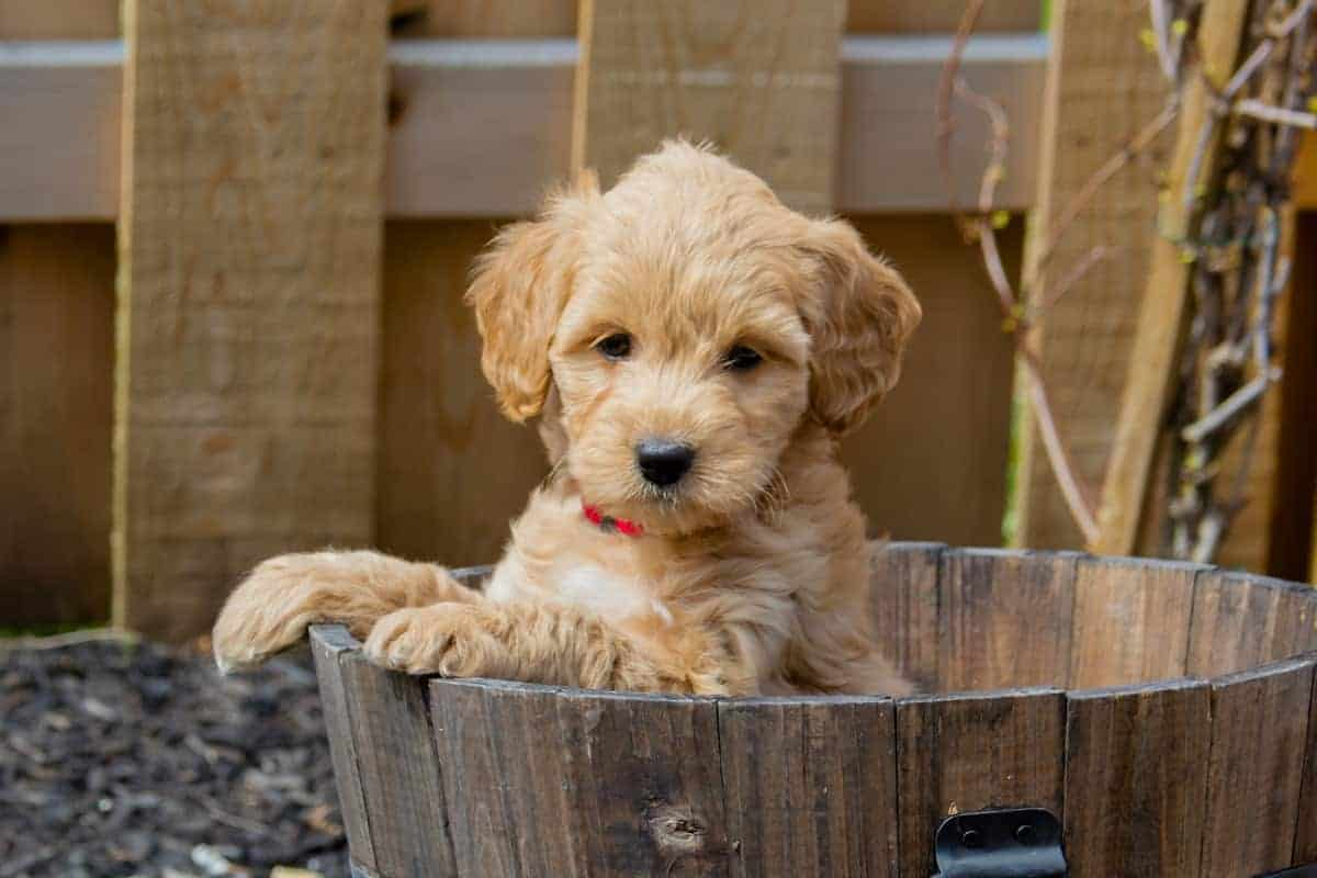 Best Goldendoodle Breeders to Find Goldendoodle Puppies for Sale