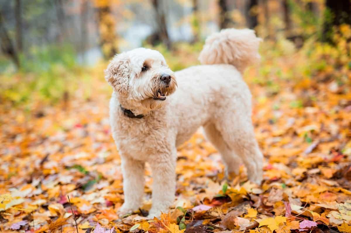 Best Goldendoodle Rescues for Adoption