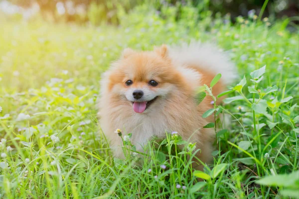 Best Pomeranian Breeders to Find Pomeranian Puppies for Sale