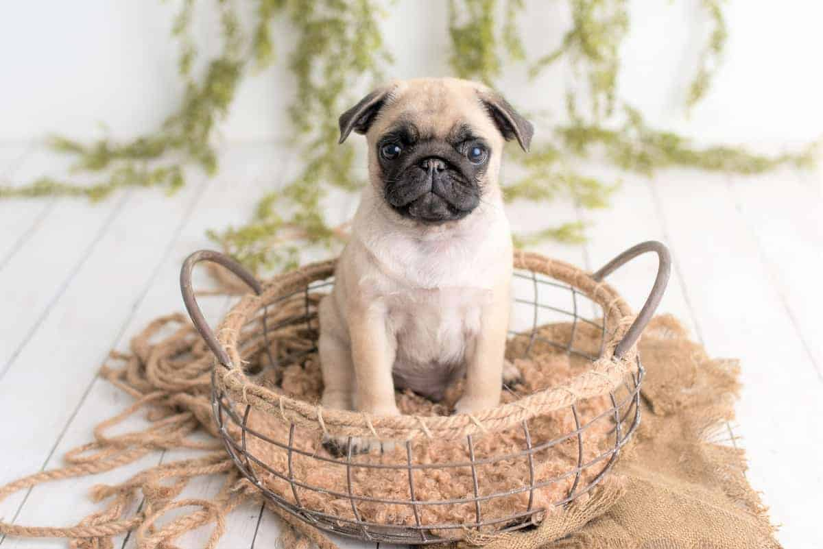 Best Pug Breeders to Find Pug Puppies for Sale