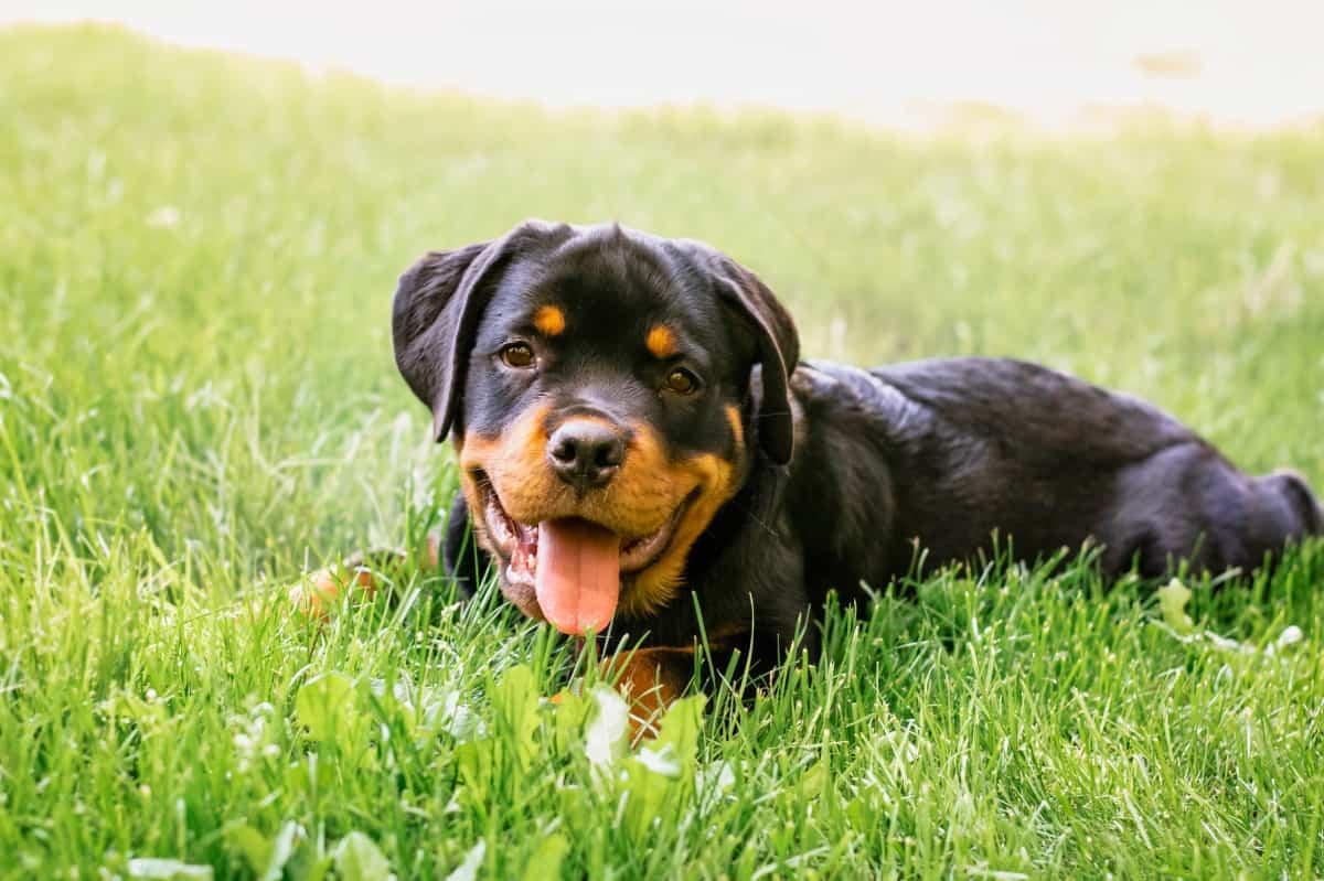 Best Rottweiler Breeders to Find Rottweiler Puppies for Sale