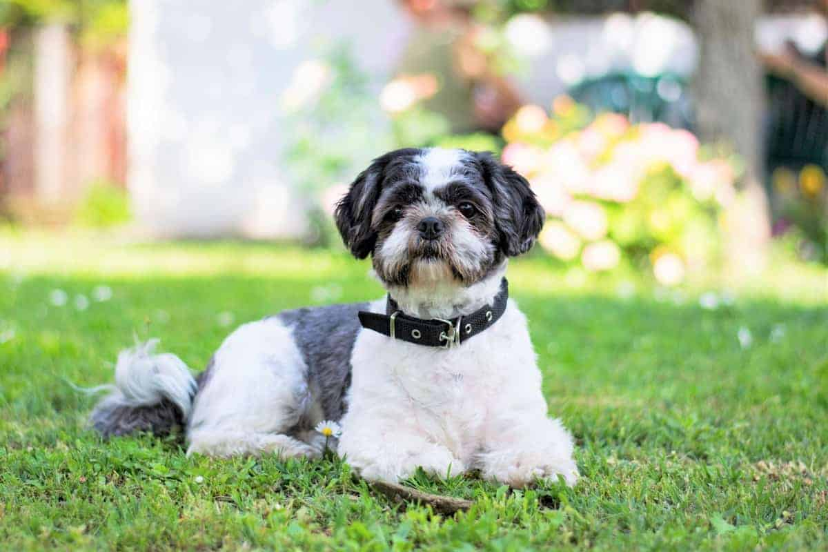 Best Shih Tzu Breeders to Find Shih Tzu Puppies for Sale