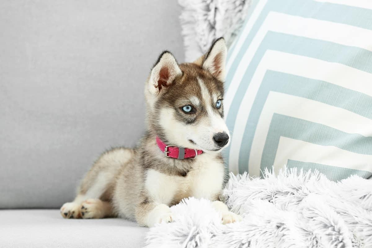 Best Siberian Husky Breeders to Find Siberian Husky Puppies for Sale