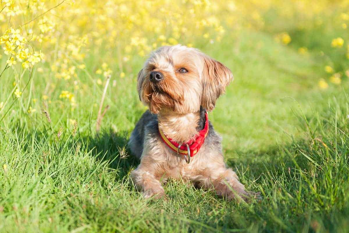 Best Yorkshire Terrier Breeders to Find Yorkie Puppies for Sale