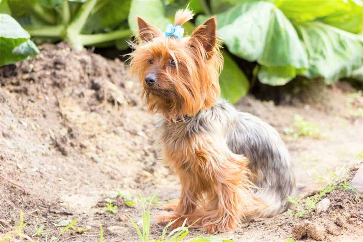 Best Yorkshire Terrier Rescue for Adoption