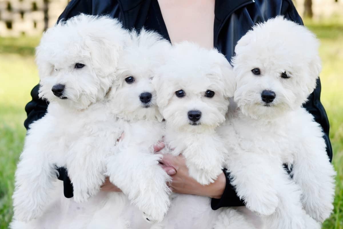 Bichon Frise breeder holding four white cute Bichon Fries puppies for sale