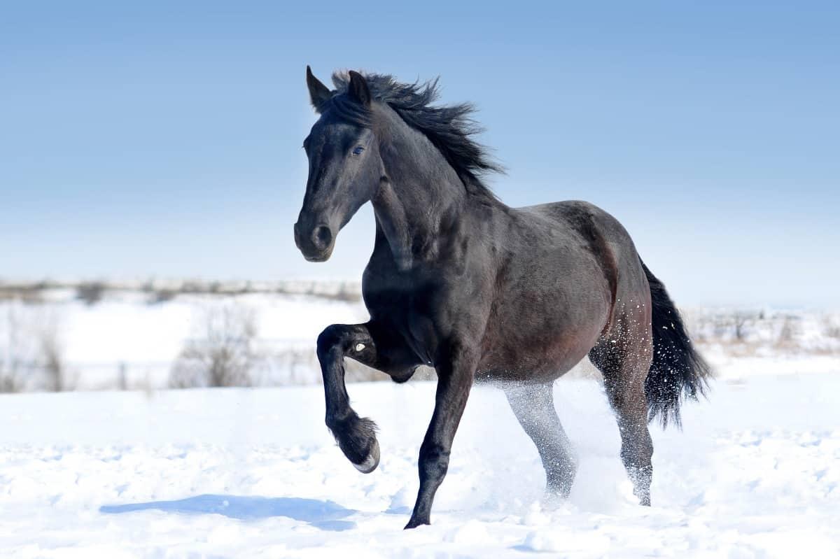 Black Friesian horse runs gallop on the snow