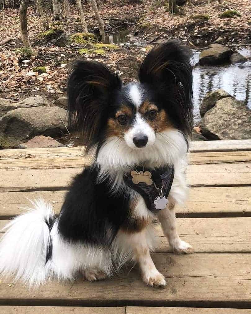 Black brown and white Papillon