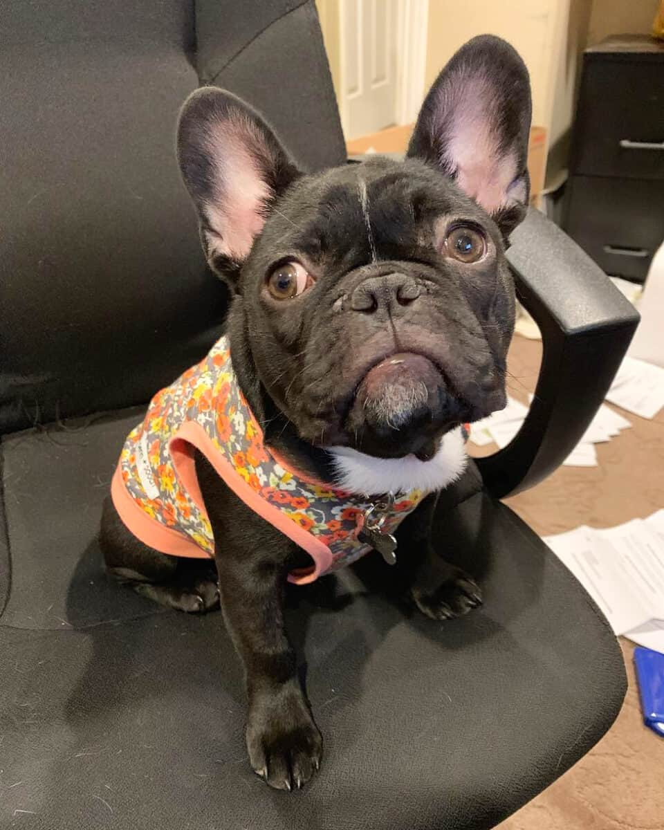 Black teacup Frenchie wearing a dog shirt
