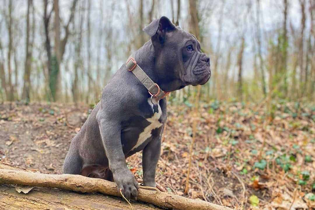 Blue English Bulldog in the forest