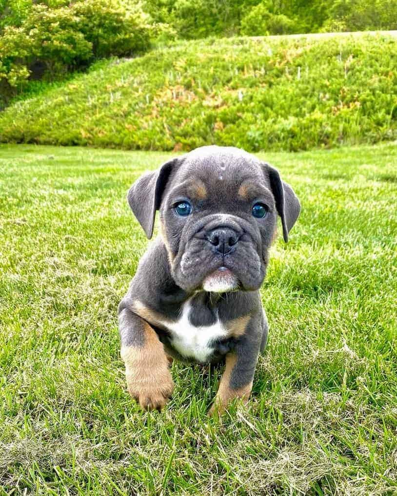 Blue English Bulldog puppy for sale