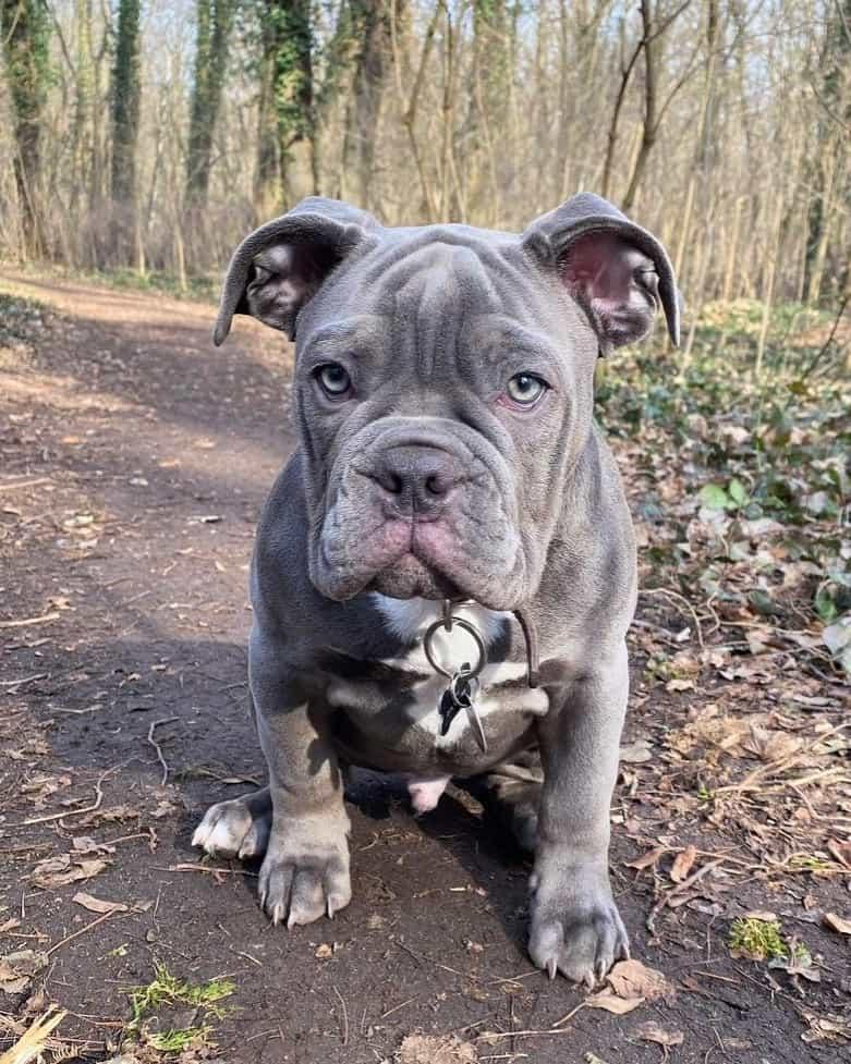 Blue Olde English Bulldog puppy