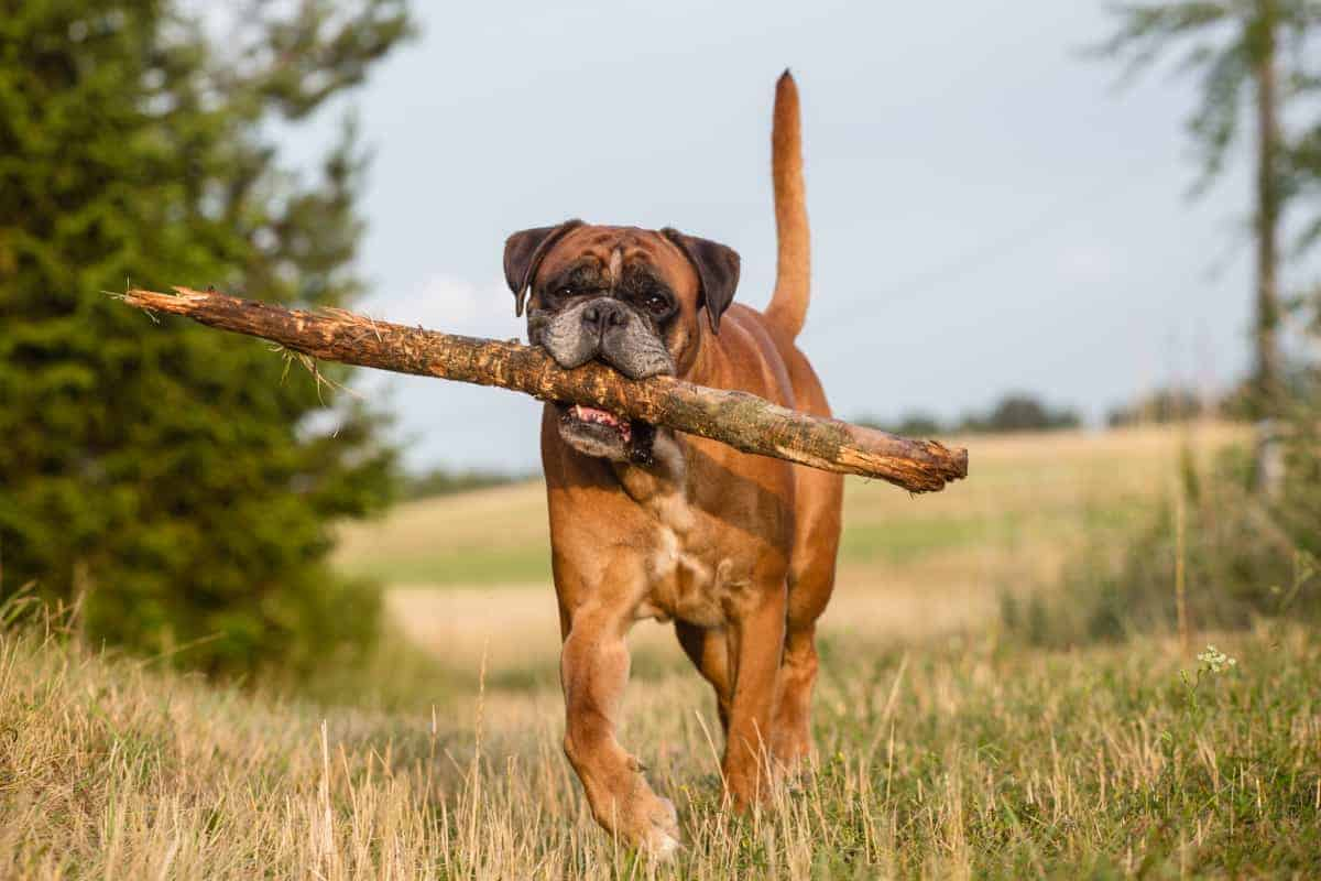 Boxer dog playing with big stick