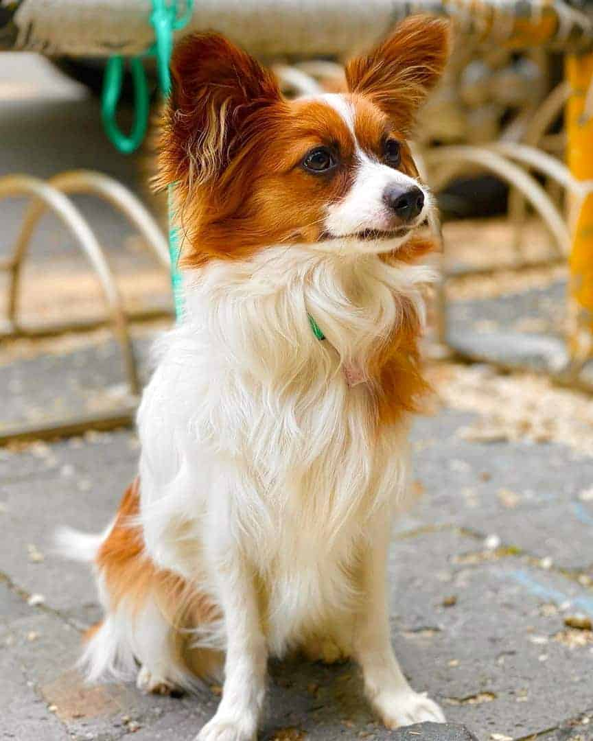 Brown and white Papillon
