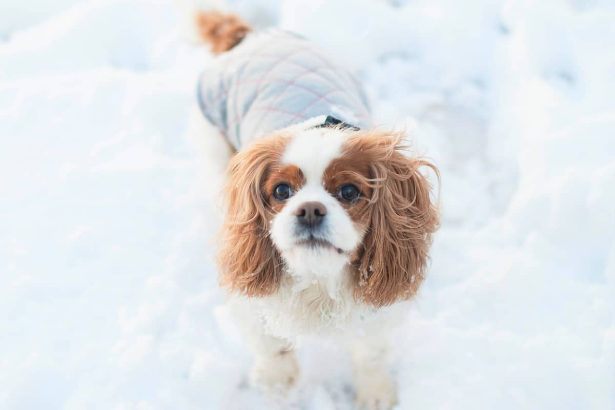 Cavalier King Charles Spaniel rescue in the snow