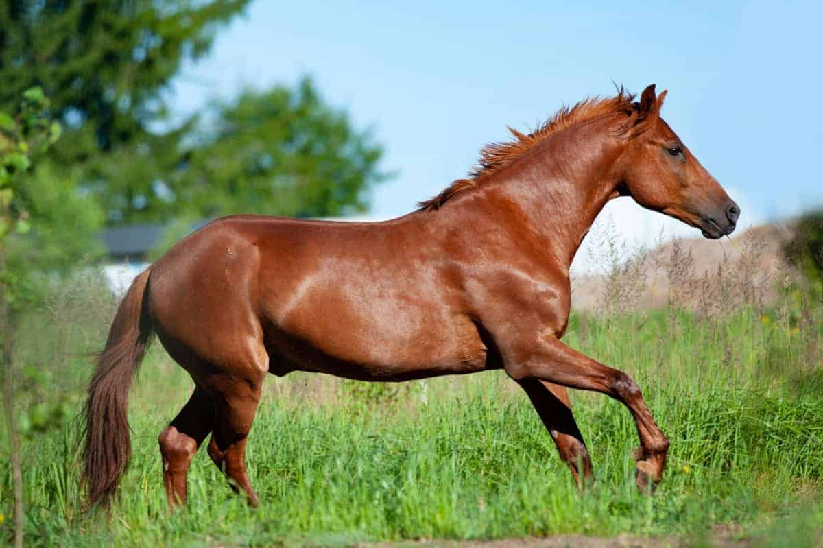 Other colors confused with palomino - Chestnut horse