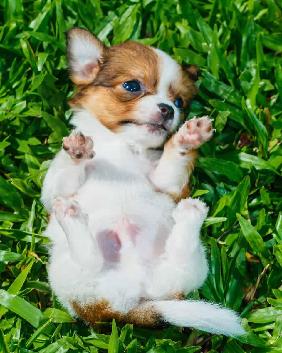 Cute Chihuahua puppy sleeping on grass
