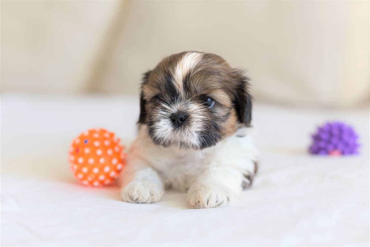 Cute Shih Tzu puppy for sale lying on a bed